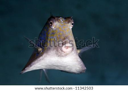 thornback boxfish (tetrasomus gibbosus) - stock photo