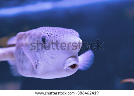 Thornback boxfish Tetrasomus gibbosus - solitair fish swimming close to the sandy bottom at the beautiful shallow lagoon of the Red Sea, Egypt - stock photo
