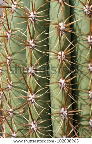 thorns and spines very pungent a fat cactus in the Sun - stock photo