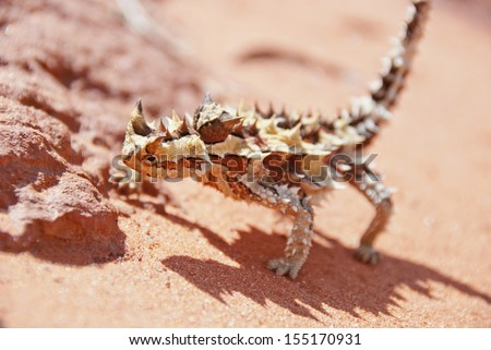 Thorny devil found in the outback, the red center of Australia - stock photo