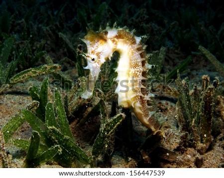 Thorny seahorse - stock photo