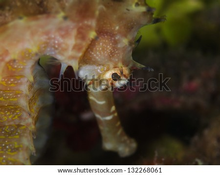 Thorny Seahorse (Hippocampus histrix) - stock photo