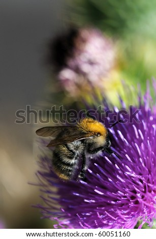 Thorny thistle flower with bee - stock photo
