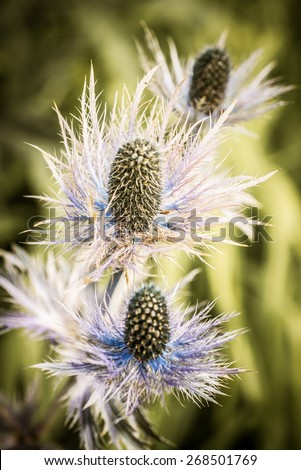 thorny thistle flowers in front of an unfocused background - stock photo