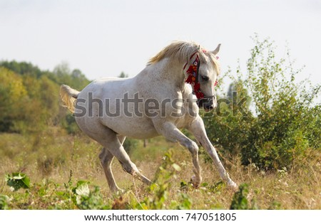 Thoroughbred Arabian horse