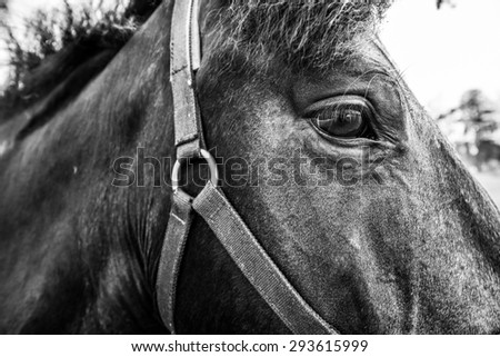 Thoroughbred horse close up in the field. Image in the black and white tones - stock photo