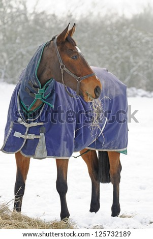 Thoroughbred horse eating hay in a snow covered paddock - stock photo