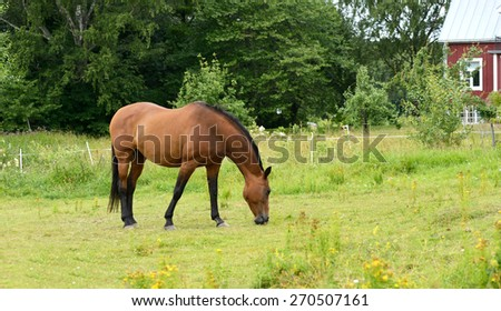 Thoroughbred horse grazing in meadow near house - stock photo