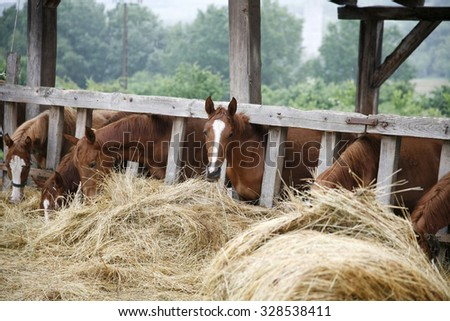 Thoroughbred horses in the paddock eating dry grass - stock photo