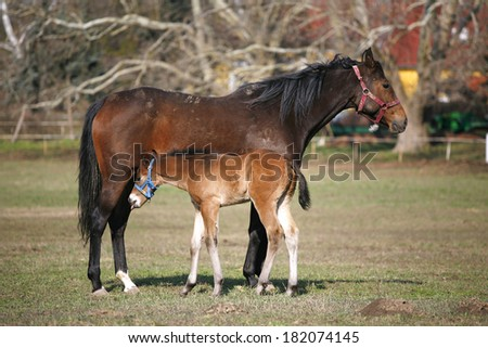 Thoroughbred mare and foal breastfeeding in the field.  - stock photo