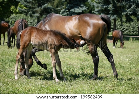 Thoroughbred mare and foal breastfeeding in the field. Breastfeeding colt in summertime pasture - stock photo
