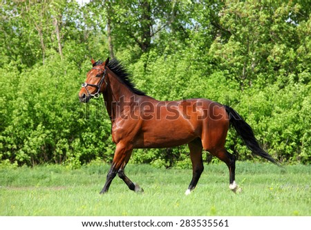 Thoroughbred racehorse runs on a green summer meadow  - stock photo