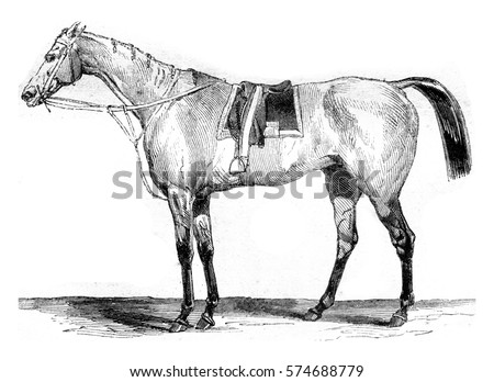 Thoroughbred racehorse, vintage engraved illustration. Magasin Pittoresque 1845.