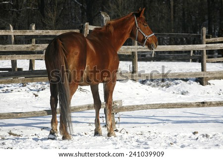 Thoroughbred saddle horse looking over the corral fence - stock photo