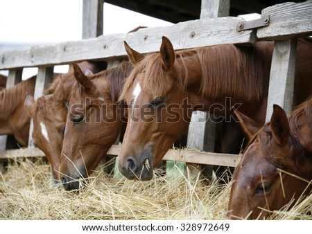 Thoroughbred yearling horses eating hay in stable - stock photo