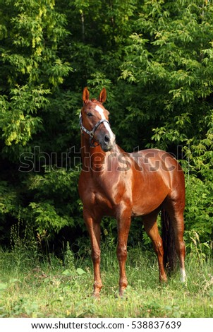 Thoroughbred young horse posing against spring woods
