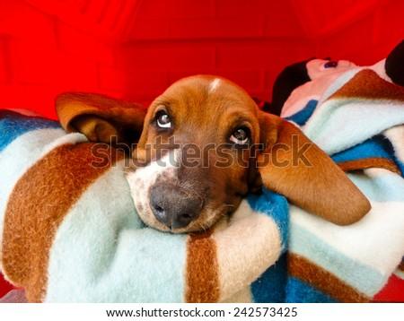 Thoughtful Basset Hound puppy inside his dog house.  - stock photo