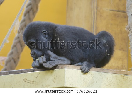 Thoughtful gorilla baby bringing food to its mouth. It is climbed on a platform in an indoor installation. - stock photo