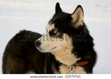 Thoughtful husky dog with collar on snow field