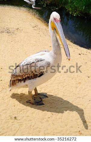 Thoughtful pelican - stock photo