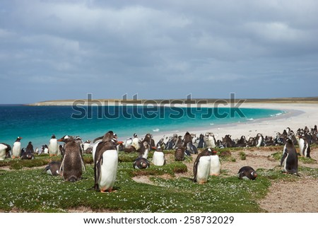 Thousands of Gentoo Penguins (Pygoscelis papua) and Magellanic Penguins (Spheniscus magellanicus) on a large sandy beach on Bleaker Island in the Falkland Islands. - stock photo