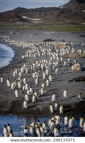 Thousands of King Penguins flee the oncoming storm - stock photo