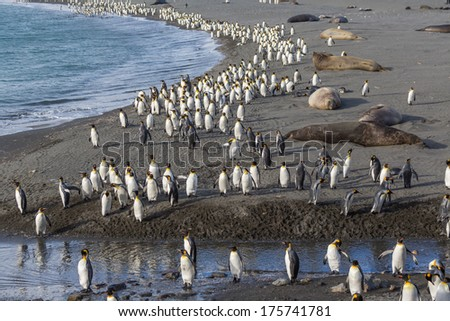 Thousands of King Penguins march to safety - stock photo