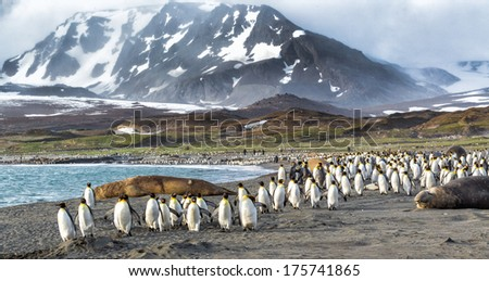 Thousands of King Penguins run from Katabatic winds in St. Andrews Bay, South Georgia - stock photo