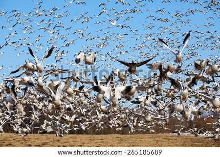 Thousands of migrating Snow Geese ( Chen caerulescens ) fly from a field in Lancaster County, Pennsylvania, USA. - stock photo