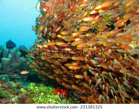 Thousands of orange cardinal fish