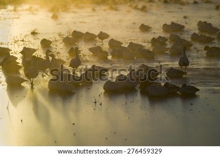 Thousands of snow geese and Sandhill cranes sit on lake at sunrise after early winter freeze at the Bosque del Apache National Wildlife Refuge, near San Antonio and Socorro, New Mexico  - stock photo