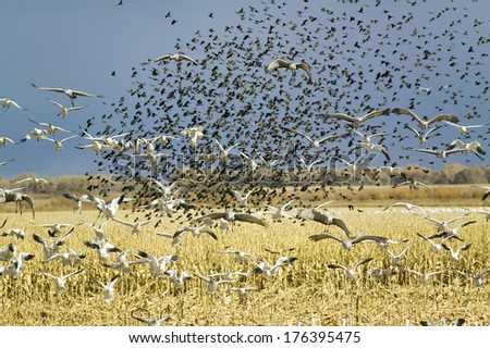 Thousands of snow geese, black birds and Sandhill cranes fly over cornfield at the Bosque del Apache National Wildlife Refuge, near San Antonio and Socorro, New Mexico  - stock photo