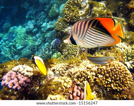Thread-fin butterfly fish - stock photo