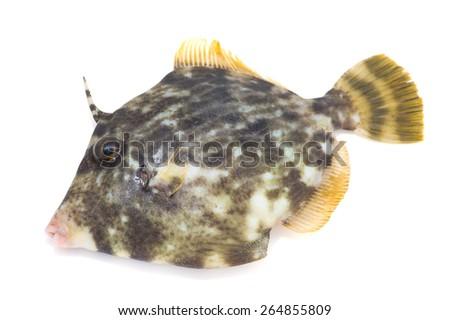 Thread Sail Filefish-Stephanolepis cirrhifer, on white background.  - stock photo
