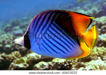Threadfin Butterfly Fish or 'Chaetodon Auriga', Ko Tao island, Thailand - stock photo