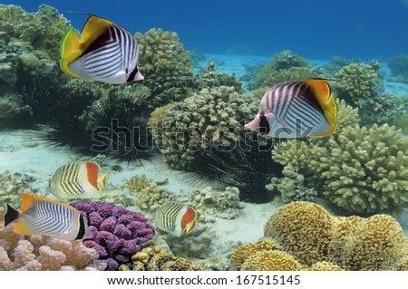 Threadfin butterflyfish and coral reef, Red Sea, Egypt - stock photo