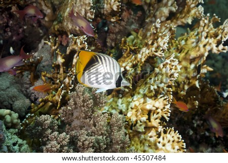 threadfin butterflyfish and ocean - stock photo