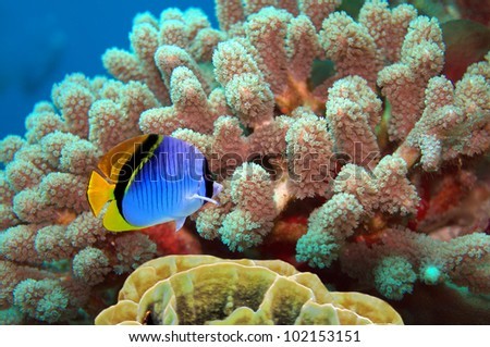 Threadfin butterflyfish (Chaetodon auriga) and coral reef, Red Sea, Egypt. - stock photo