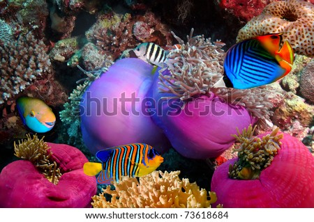 Threadfin butterflyfish (Chaetodon auriga) and coral reef, Red Sea, Egypt - stock photo