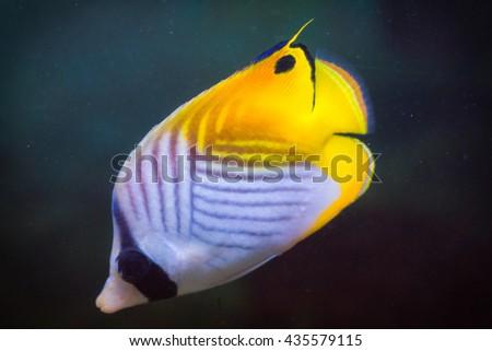 Threadfin Butterflyfish (Chaetodon auriga) deep underwater.  - stock photo