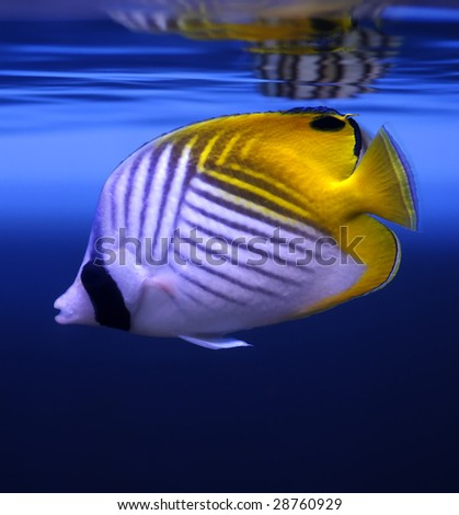 Threadfin Butterflyfish (Chaetodon auriga) in a Moscow Zoo aquarium - stock photo