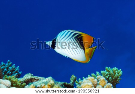Threadfin butterflyfish (Chaetodon auriga) in the Red Sea, Egypt. - stock photo