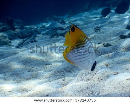 Threadfin butterflyfish (Chaetodon auriga)  looking for food on a seabed   - stock photo