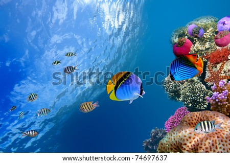 Threadfin butterflyfish (Chaetodon auriga), Red Sea, Egypt - stock photo