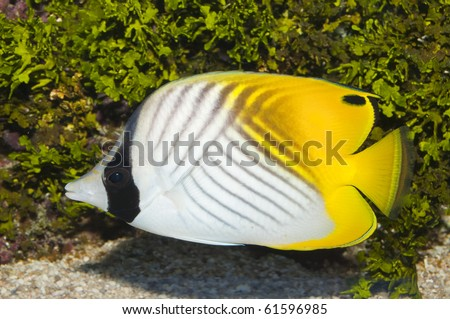Threadfin Butterflyfish in Saltwater Aquarium - stock photo