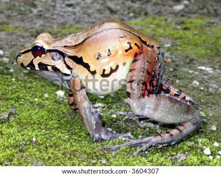 Threat display of the red thighed thin toed frog (Leptodactylus rhodomerus)