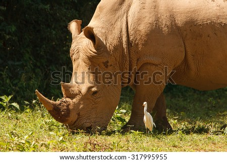 Threatened white, square-lipped rhinoceros (Ceratotherium simum), grazing on fresh grass. Wildlife observation and conservation, tourist safari, animals in the wild concept.  - stock photo