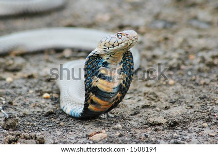 Threatening Mozambican Spitting Cobra. Shallow D.O.F. - stock photo