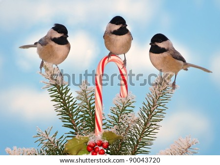Three adorable Black- capped Chickadees (Poecile atricapillus) at a festive candy cane. - stock photo