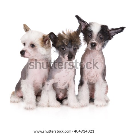 three adorable chinese crested puppies sitting on white - stock photo
